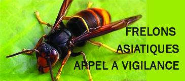 Frelons asiatiques : restons vigilants