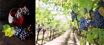 It's About Wine : en direct des vignes